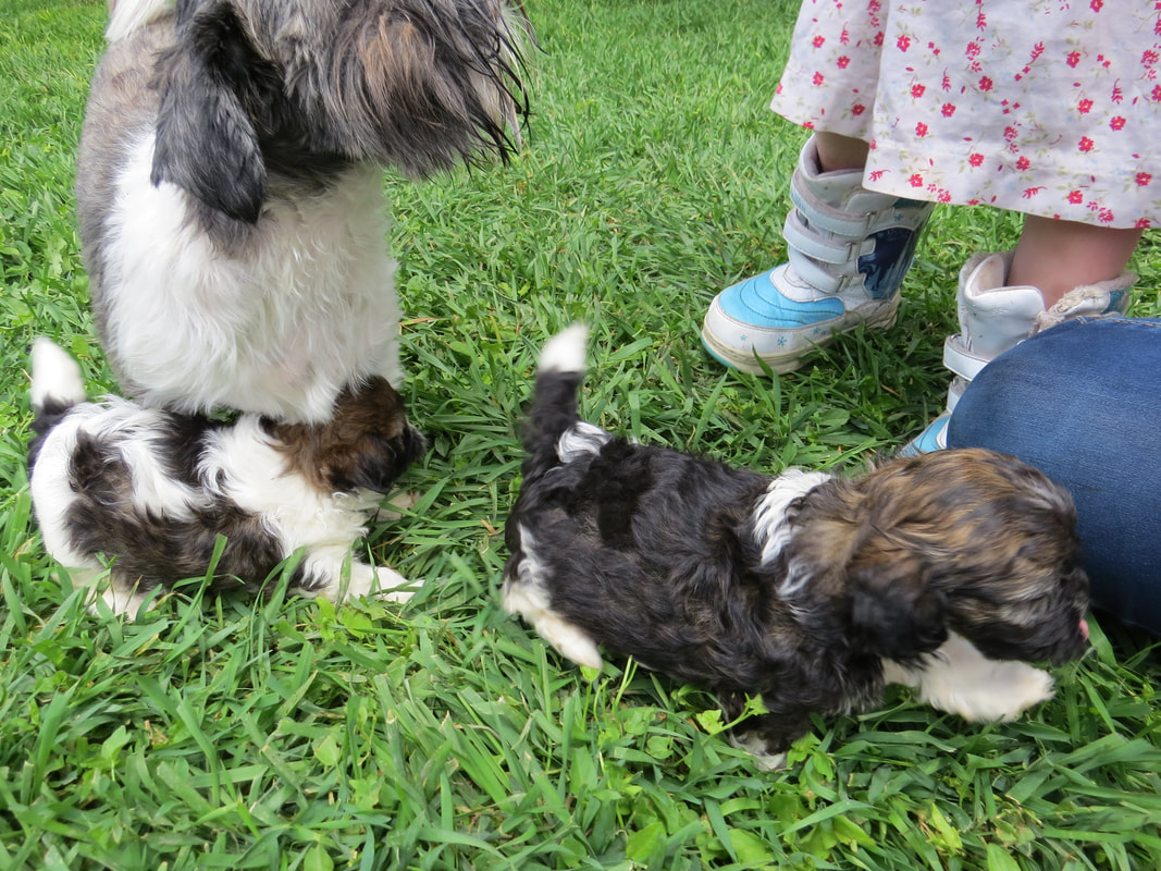 Shihpoos Breeding Service Dog Quality Babies In Idaho From